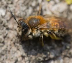 Andrena praecox