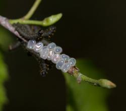 Берёзовый шелкопряд (Endromis versicolora)