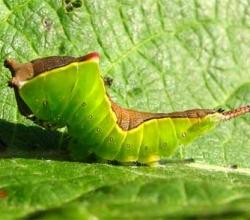 Большая гарпия (Cerura vinula)
