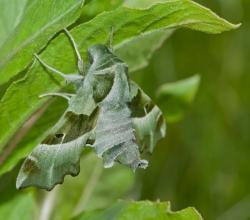 Бражник зубокрылый (Proserpinus proserpina)