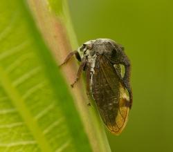 Горбатка обыкновенная (Centrotus cornutus)