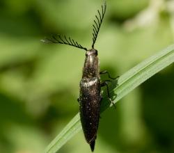 Ctenicera pectinicornis