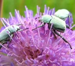 Цветоройка малая (Hoplia parvula)
