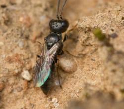 Род Diodontus