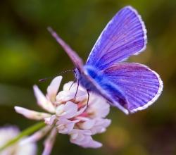 Голубянка икар (Polyommatus icarus)