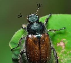 Хрущик садовый (Phyllopertha horticola)