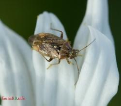 Клоп травяной (Lygus rugulipennis)