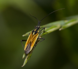 Клоп злаковый (Leptopterna dolabrata)