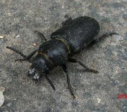 Короткоусый усач (Spondylis buprestoides)
