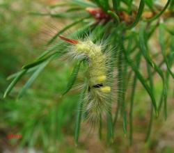 Краснохвост (Calliteara pudibunda)