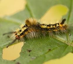 Краснохвост пятнистый (Orgyia recens)