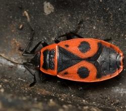 Красноклоп бескрылый (Pyrrhocoris apterus)