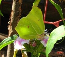 Лимонница (Gonepteryx rhamni)