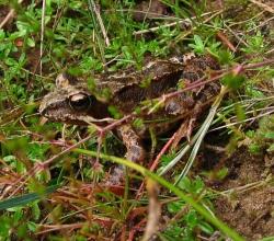 Лягушка остромордая (Rana terrestris, =R. arvalis)