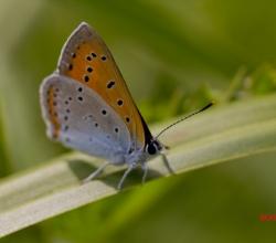 Червонец непарный (Lycaena dispar)
