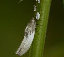 Крапивный червец (Orthezia urticae)
