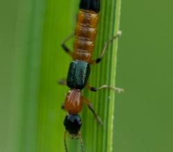 Стафилин береговой (Paederus riparius)