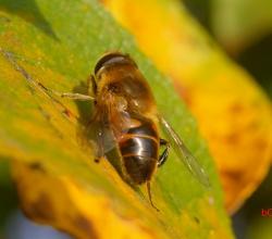 Пчеловидка обыкновенная (Eristalis tenax)
