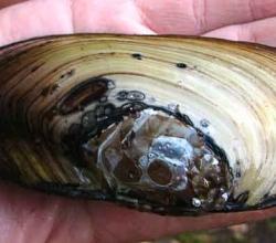 Перловица обыкновенная (Unio pictorum)