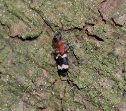Пестряк муравьиный (Thanasimus formicarius)