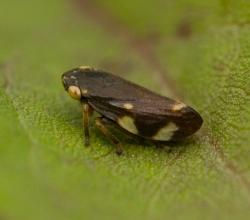 Слюнявница обыкновенная (Philaenus spumarius)
