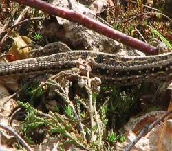 Обыкновенная, или прыткая, ящерица (L. Agilis)
