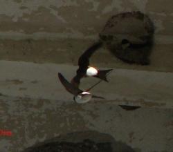 Воронок, или городская ласточка (Delicon urbica)