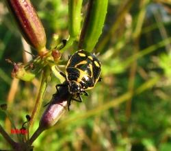 Рапсовый клоп (Eurydema oleracea)