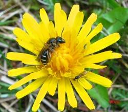 Род Галикты (Halictus)