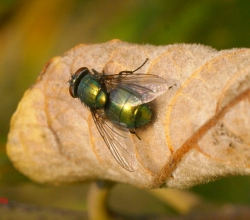 Род Зелёные падальные мухи (Lucilia)