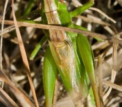 Bicolorana bicolor
