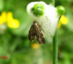 Семейство Молелистовёртки (Choreutidae)