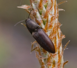Щелкун бурый (Sericus brunneus)