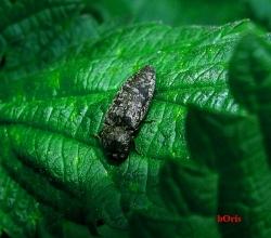 Щелкун серый (Agrypnus murinus)