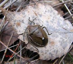 Щитник можжевельниковый (Chlorochroa juniperina)