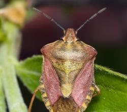 Щитник ягодный (Dolycoris baccarum)