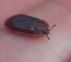 Щитовидка рыжая (Ostoma ferruginea)