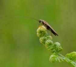 Таракан лапландский (Ectobius lapponicus)