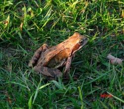 Травяная лягушка (R. temporaria)