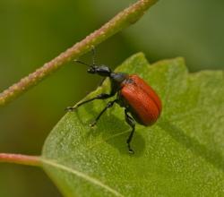 Трубковёрт ореховый (Apoderus coryli)