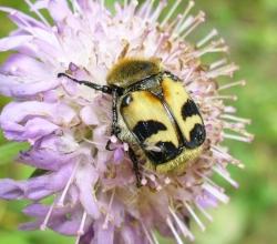 Восковик перевязанный (Trichius fasciatus)