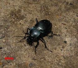 Жужелица чёрная лесная (Carabus glabratus)