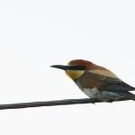 Щурка золотистая (Merops apiaster)