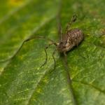 Отряд Сенокосцы (Opiliones)