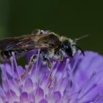 Род Andrena