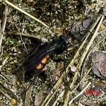 Anoplius viaticus