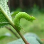 Бражник глазчатый (Smerinthus ocellata)