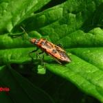 Булавник беленовый (Corizus hyoscyami)