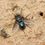 Семейство Calliphoridae