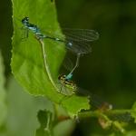 Стрелка красивая (Coenagrion pulchellum)
